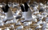 Электронный манок на гуся приходит на помощь охотнику