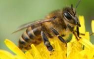 Пчёлы-убийцы с черниговской пропиской