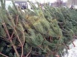 Украинцев будут штрафовать за приобретение елок без чипов